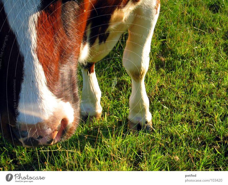 Muh Tier Kuh braun weiß grün schwarz Schnauze Fressen Huf Gras Ferien & Urlaub & Reisen Bauernhof rosa 4 melken Schweiz Alm Säugetier Beine Widerkäuer Nase