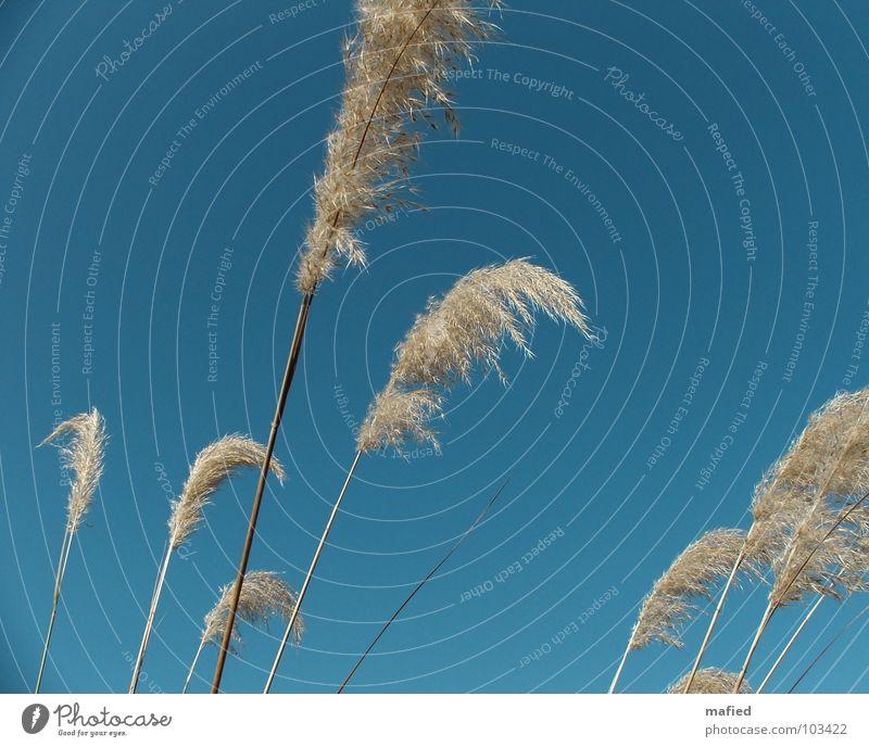 Puschel Gras Schilfrohr weich wiegen taumeln streichen Streicheln Himmel blau Riedgras Samen Wind Wedel Feder