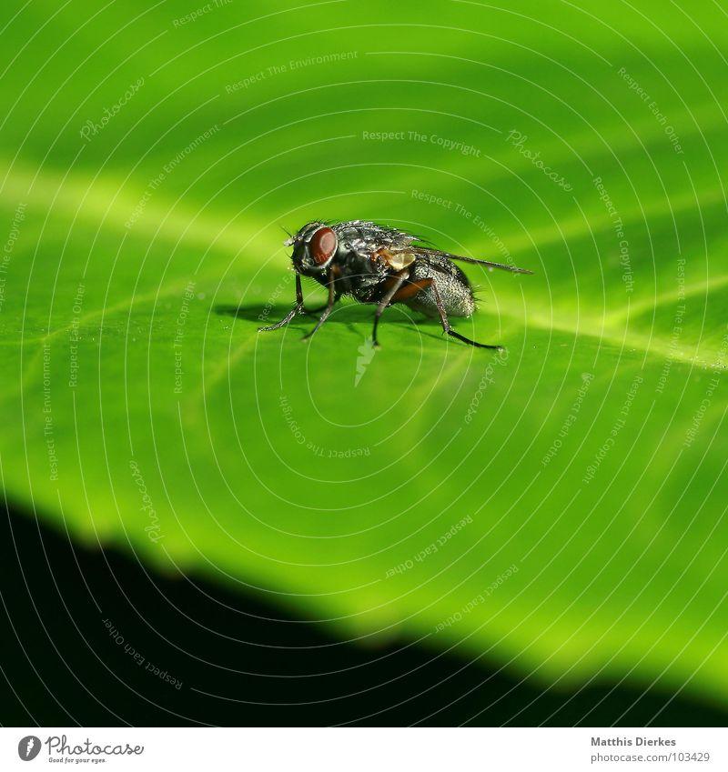 FLIEGE grün Sommer Tier Blatt klein fliegen warten Fliege Beginn Flügel Pause Reinigen Lebewesen Biene Insekt Sonnenbad