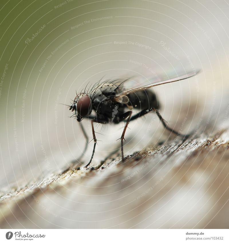 die schon wieder! grün Erholung Auge Holz Beine braun sitzen fliegen Fliege Luftverkehr Suche Flügel Tiefenschärfe Rüssel Facettenauge