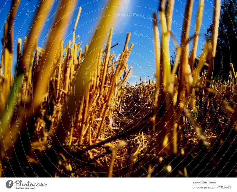 Mäuseperspektive Stoppelfeld Sommer Ernte Bodenbelag Himmel Sonnentag blau leuchten