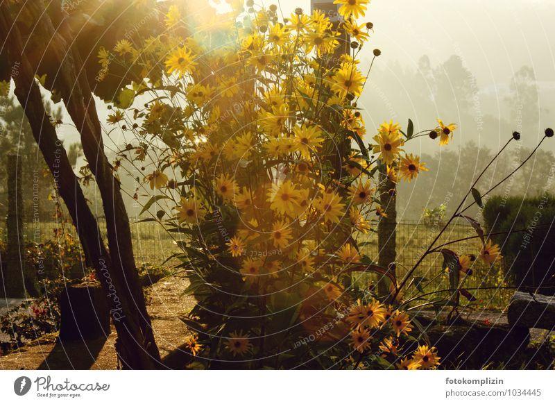 sonnenlichtblumen Umwelt Natur Pflanze Sonnenlicht Sommer Schönes Wetter Blume Garten Gartentor Blühend leuchten gelb gold Stimmung Sehnsucht Heimweh
