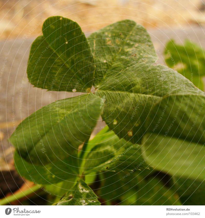 noch etwas GLÜCK Klee Kleeblatt grün Glücksbringer Zufall finden Suche Wiese Wegrand sichtbar außergewöhnlich Stengel typisch Sommer Makroaufnahme Nahaufnahme
