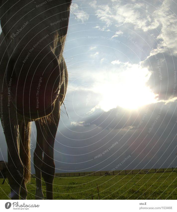 beinahe ein storch Pferd Wiese Stall Bauernhof Dorf ländlich Zaun grün Licht Durchbruch Tier schön Schnauze Pferdeschnauze groß Mähne Fell glänzend Wolken