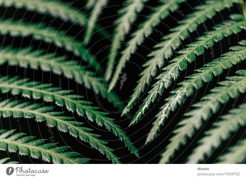 keine Entfarnung! Umwelt Natur Pflanze Farn Blatt Grünpflanze Wald Urwald Wachstum natürlich Farbfoto Nahaufnahme Detailaufnahme Menschenleer Unschärfe