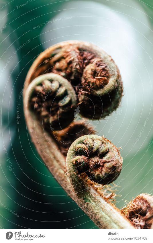 langlebig | Erfolgsmodell [2] Umwelt Natur Pflanze Farn Blatt Grünpflanze Wildpflanze Garten Park Urwald alt exotisch natürlich braun grün Farbfoto Menschenleer