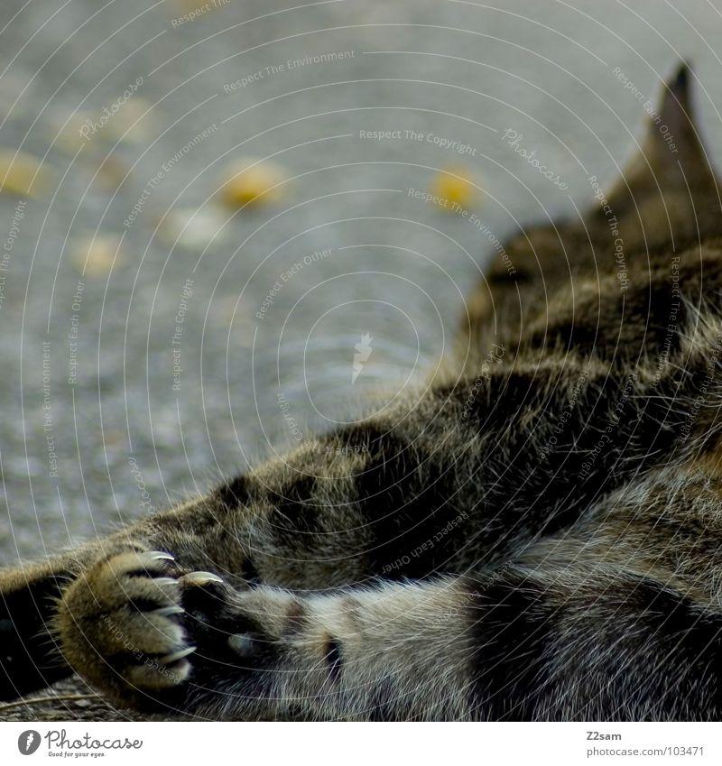 "rocky ""die kralle"" Katze Tier Erholung Straße Beton liegen süß niedlich Spitze Fell Verkehrswege Dame Riss Haustier Säugetier Pfote"