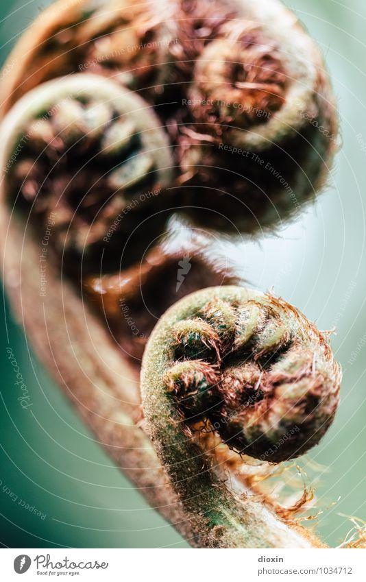 Erfolgsmodell Umwelt Natur Pflanze Farn Blatt Grünpflanze Wald Urwald Wachstum natürlich Farbfoto Nahaufnahme Detailaufnahme Makroaufnahme Menschenleer
