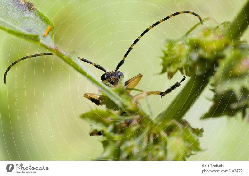 Hier bin ich... nein hier! Wiese Fühler Insekt Sommer grün Käfer Versteck Blick instekt