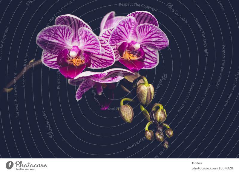 mini Orchidee Natur Pflanze Blume Blüte Topfpflanze Blühend elegant exotisch nah natürlich schön grün violett schwarz weiß Farbfoto Innenaufnahme Studioaufnahme