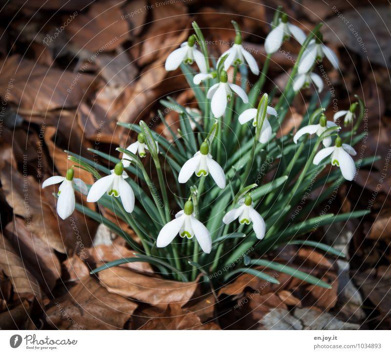 bald Geburtstag Umwelt Natur Pflanze Frühling Blume Wildpflanze Schneeglöckchen Blatt Blühend Wachstum Freundlichkeit Fröhlichkeit schön braun grün weiß