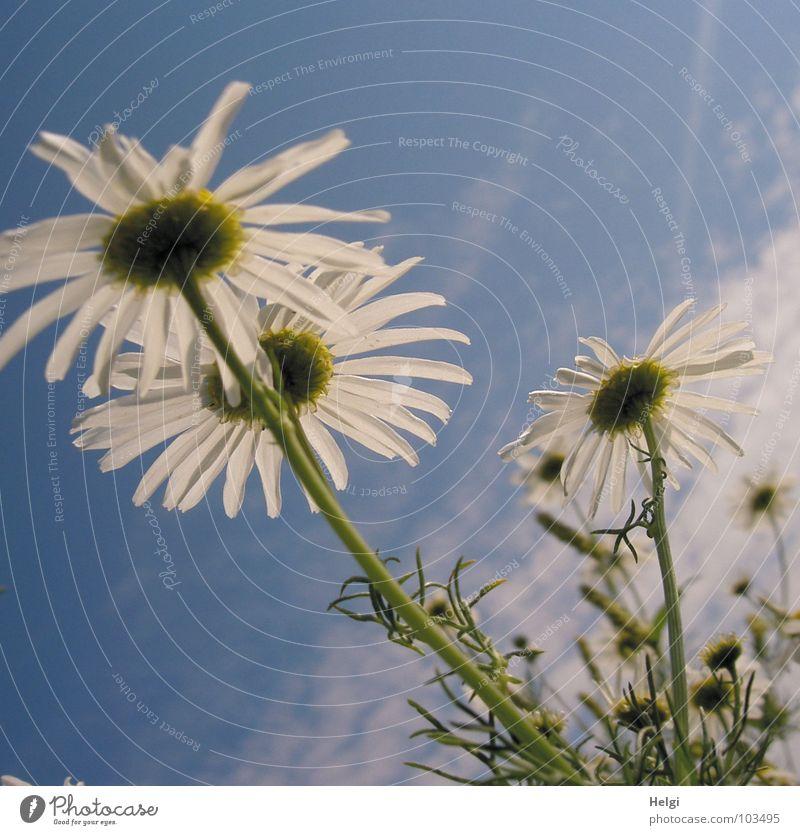 sommerlich... Blume Blüte Kamille Kamillenblüten Blühend Stengel Blütenblatt Froschperspektive Wachstum Wolken Wiese Wegrand weiß grün gelb Heilpflanzen