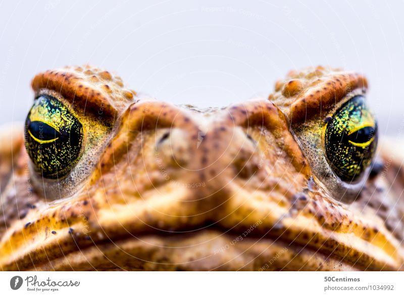 Macro Frog Tier gelb braun Wildtier gold Kreativität Stolz Frosch gigantisch