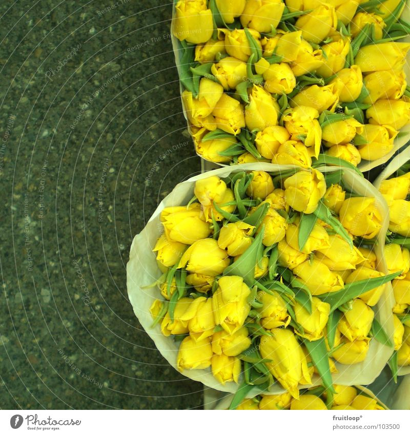 tulpige sache! schön Blume gelb Beton frisch weich Asphalt Tulpe Markt Prima Niederlande Amsterdam knallig Blumenladen