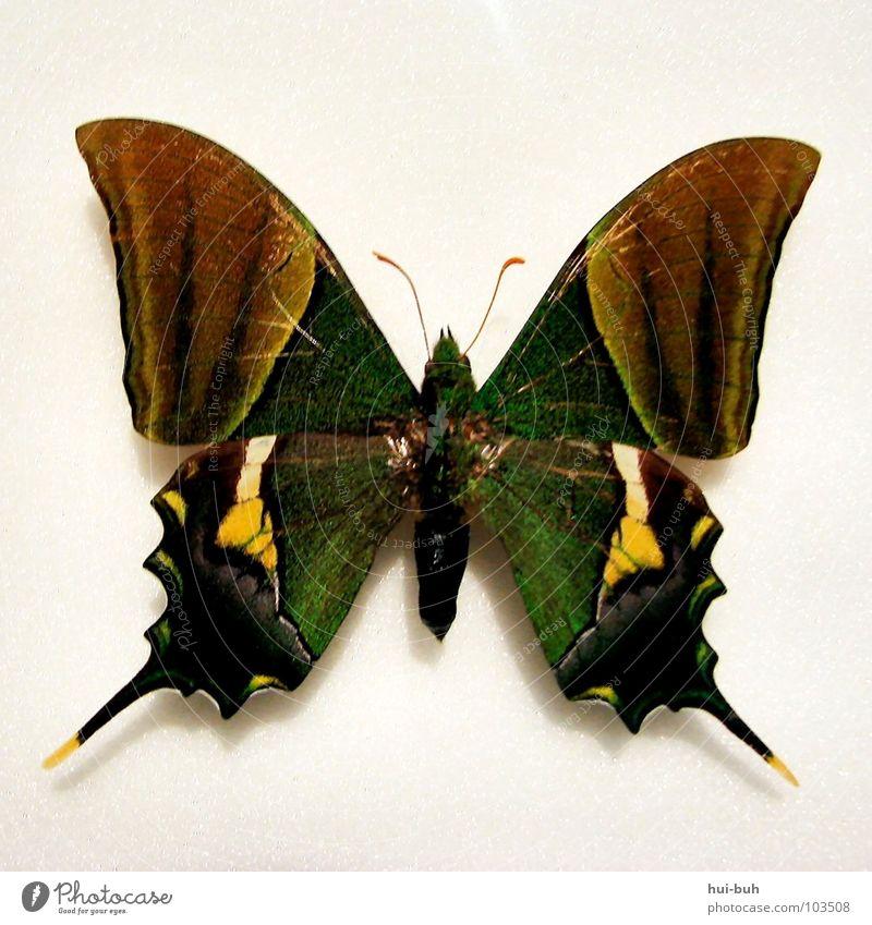 Schmetti schmetti Schmetterling dumdidumdidum.. grün schön Farbe Freiheit Gefühle Luft fliegen Flügel Spitze Insekt Museum Kurve Fühler Hülle Tier