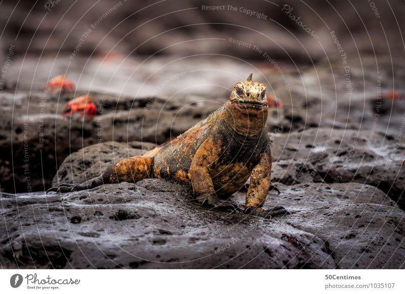 Galapagos Landleguan Umwelt Landschaft Seeufer Galapagosinseln Tier Wildtier Leguane 1 Abenteuer Stil stagnierend Ecuador Farbfoto Außenaufnahme Detailaufnahme