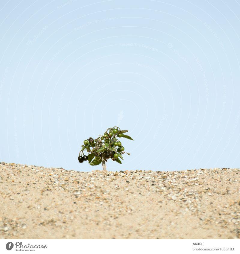 Baum. Oder nicht? Himmel Natur Pflanze Landschaft Umwelt natürlich klein Sand Wachstum Frucht Erde Sträucher Perspektive groß trocken