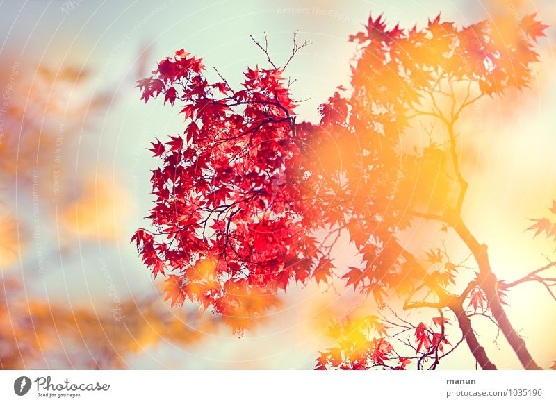 warme Farben Natur Frühling Herbst Schönes Wetter Baum Blatt Ahorn Ahornzweig Frühlingsfarbe Herbstfärbung herbstlich gelb gold rot türkis Frühlingsgefühle
