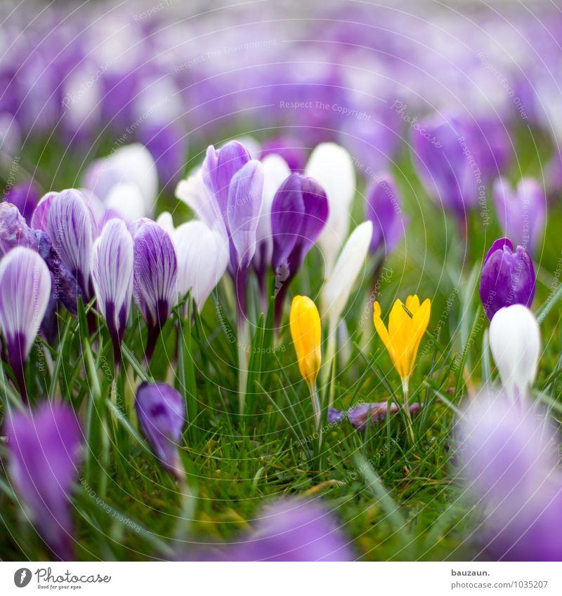 blümchen. harmonisch Zufriedenheit Sinnesorgane Garten Feste & Feiern Muttertag Natur Landschaft Pflanze Erde Frühling Blume Gras Blüte Krokusse Park Wiese