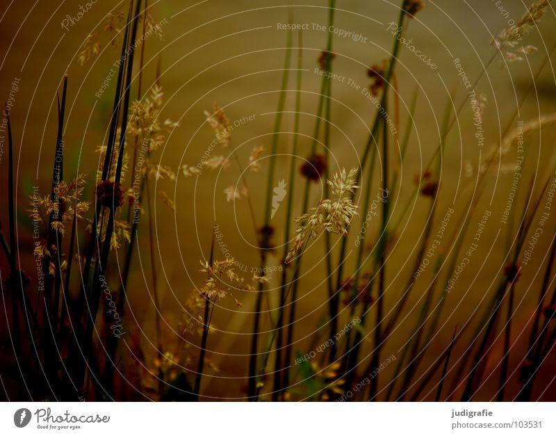 Gras grün Stengel Halm Ähren glänzend schön weich Rauschen Wiese zart beweglich sensibel federartig Pflanze See Teich Pollen rispe rispen flimmer Weide sanft