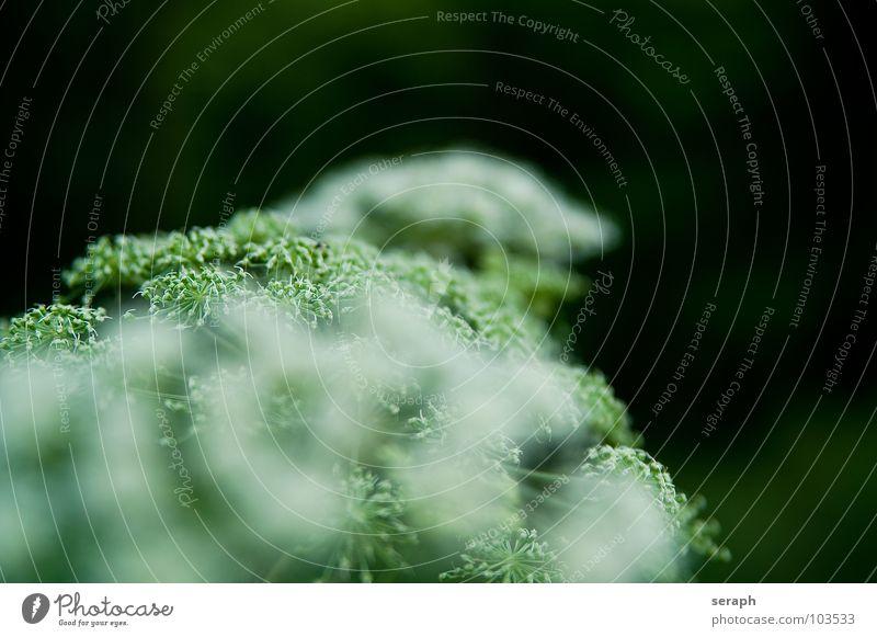 Doldenblütler Natur Pflanze Umwelt Blüte wild Wachstum Stengel Beeren Samen Botanik filigran Heilung Alternativmedizin Heilpflanzen Blütenstauden Fruchtstand