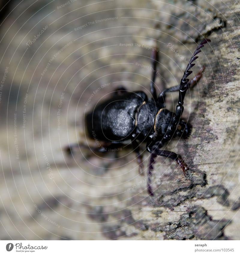 Sägebock Bockkäfer Chitin Baum Baumrinde Tier Insekt krabbeln Fühler Umweltschutz Larve gepanzert Käfer Flügel Klettern Beine Natur Makroaufnahme Widerhaken