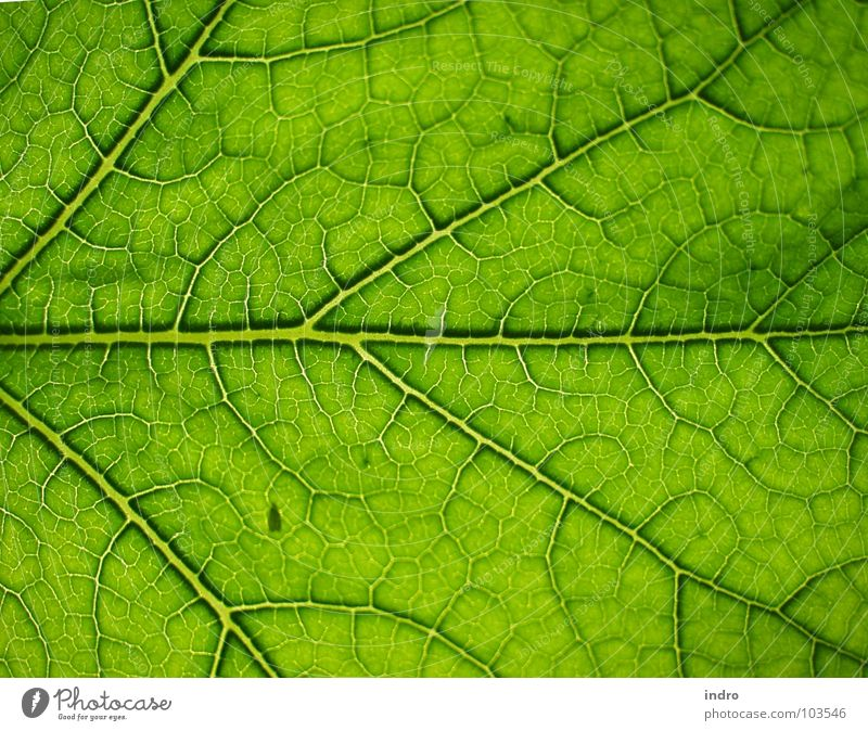 Adern Natur grün Blatt Leben Ordnung Gefäße Blattadern verzweigt