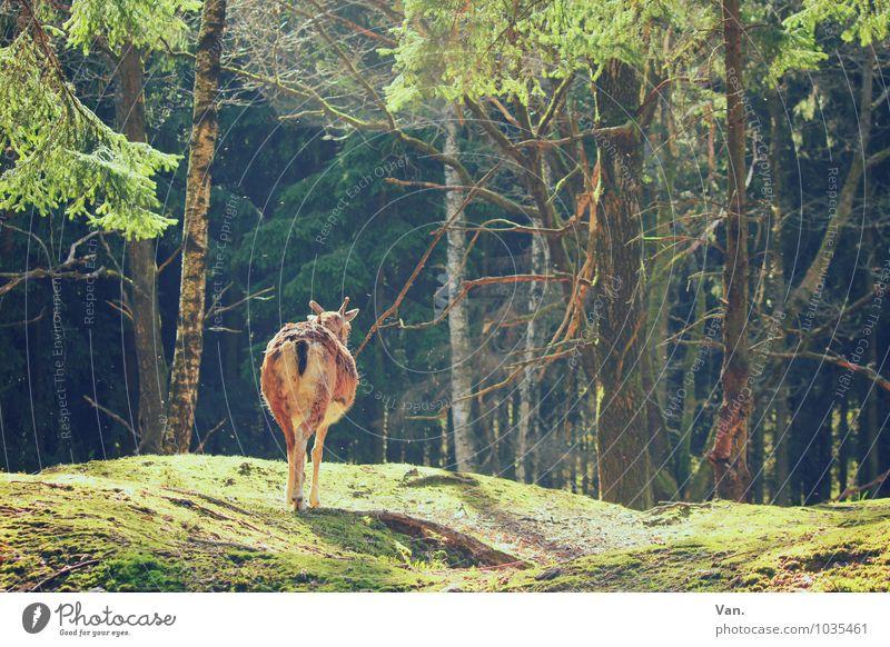 Ein schöner Rücken Natur Landschaft Sommer Pflanze Baum Gras Wald Tier Wildtier Ziegen Gemse 1 gehen Wärme grün Farbfoto mehrfarbig Außenaufnahme Menschenleer