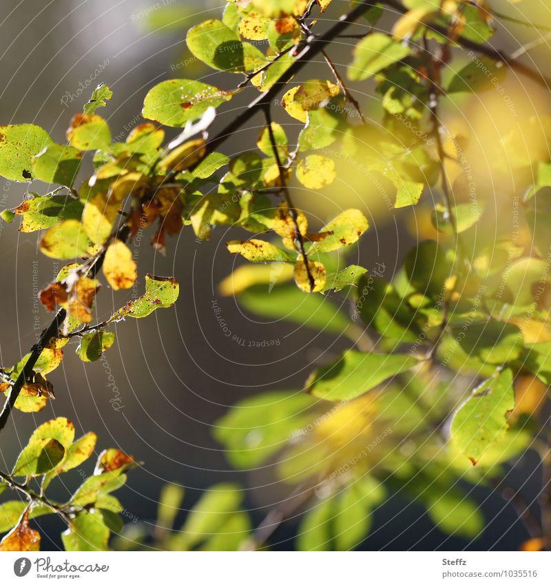 Herbstrückblick Natur Pflanze grün Blatt Wald gelb Herbst Schönes Wetter Zweig herbstlich Wildpflanze Herbstbeginn Zweige u. Äste Eindruck Herbstwetter Warmes Licht