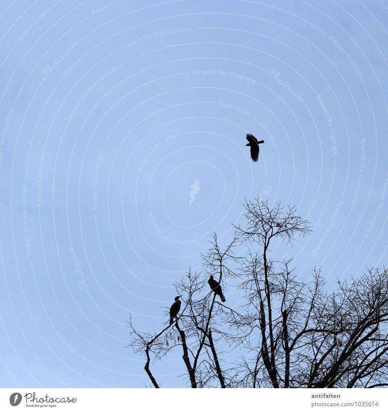 Flügge Natur Tier Himmel Wolkenloser Himmel Herbst Winter Schönes Wetter Eis Frost Baum Ast Zweig Zweige u. Äste Baumkrone Wildtier Vogel Kormoran Rabenvögel