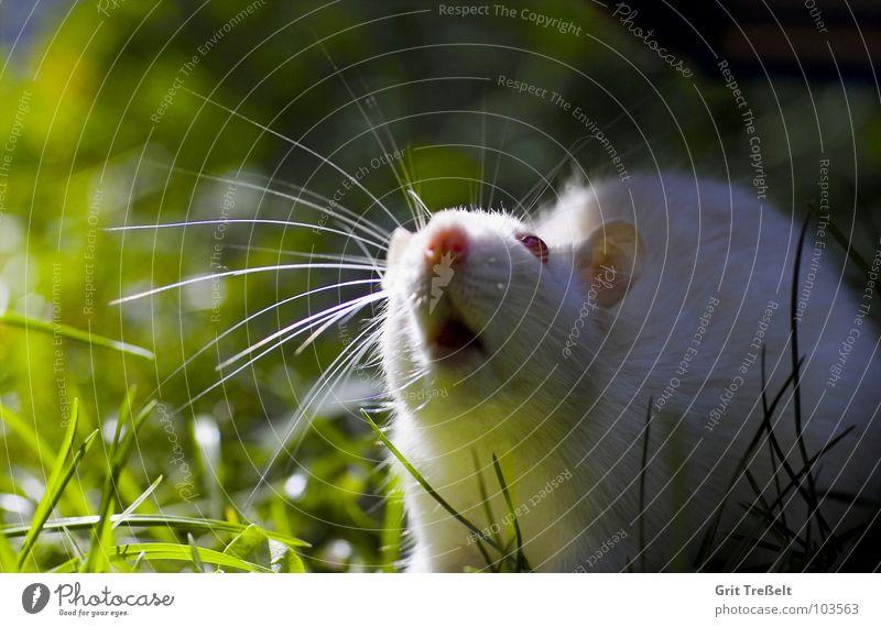 da liegt was in der Luft weiß rot Auge Wiese Säugetier Haustier Nagetiere Ratte Tier Albino