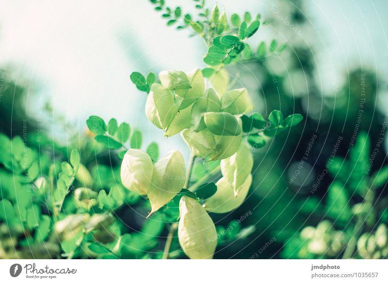 Blasenstrauch Natur Pflanze grün Erholung Blatt Umwelt Frühling Blüte Sträucher genießen Schönes Wetter Blütenknospen Umweltschutz atmen Grünpflanze Stauden