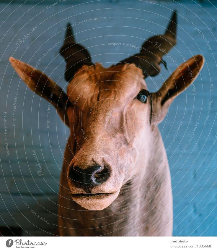 Elenantilope Tier Kopf wild Dekoration & Verzierung Wildtier Fell Afrika Jagd Zoo Horn Expedition Safari Antiquität Totes Tier Trophäe Wanddekoration