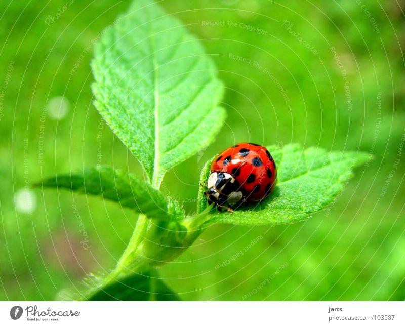 ladybird Marienkäfer Blatt rot grün Insekt klein Sommer Käfer Garten Punkt Natur jarts