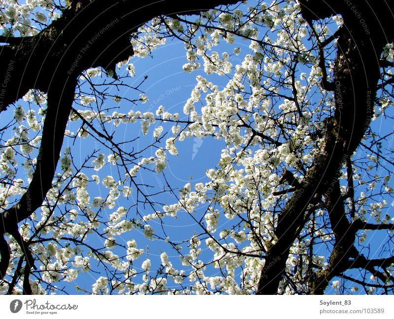 sakura Natur schön Baum Ferien & Urlaub & Reisen Blüte Frühling Glück frisch Vergänglichkeit Japan Kirsche Kirschblüten Kirschbaum