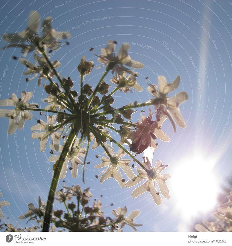 durchleuchtet... Himmel weiß Sonne Blume grün blau Sommer Wolken Lampe Blüte Wege & Pfade Zusammensein Beleuchtung Feld hoch Spaziergang
