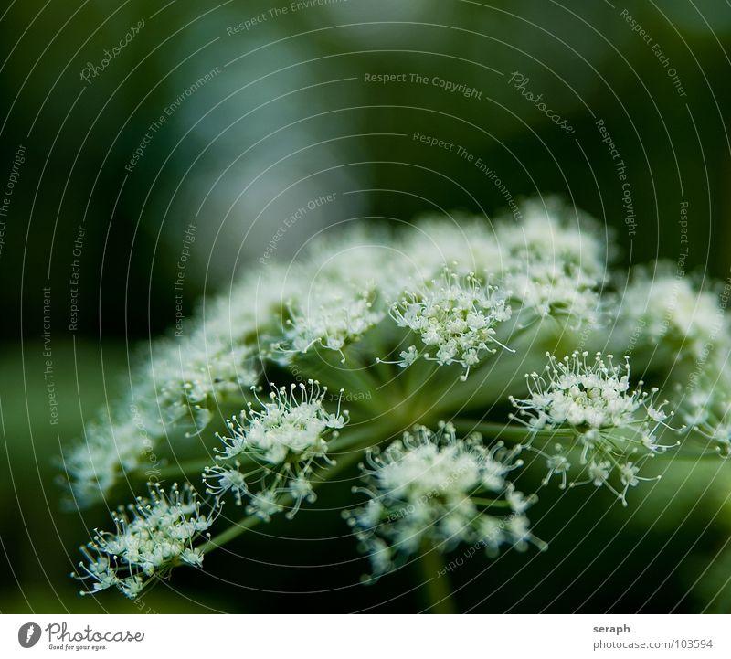 Doldenblüte Natur Pflanze Blume Umwelt Blüte wild Blühend Stengel Beeren Samen Botanik filigran Stauden Heilung Alternativmedizin Heilpflanzen