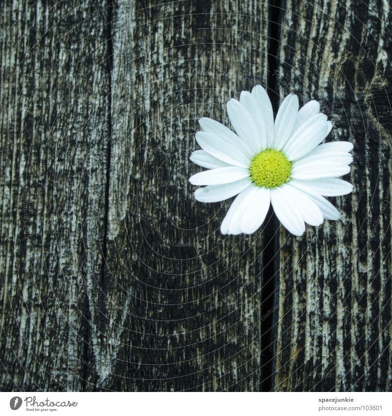 Flower weiß Blume Sommer Blüte Frühling Holz Wachstum Blühend Margerite Blütenblatt driften