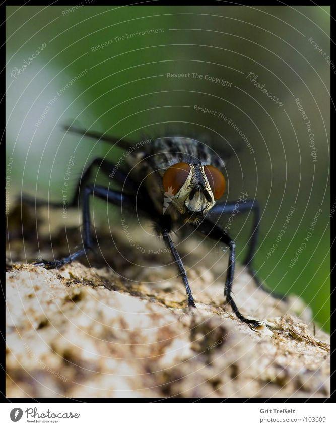 Fliege nerven nervig Insekt Sommer fliegen Makroaufnahme Auge