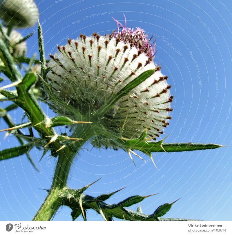 Große Distelblüte vor blauem Himmel Farbfoto Außenaufnahme Sommer Umwelt Natur Pflanze Sonnenlicht Schönes Wetter Blüte Feld ästhetisch hoch Spitze stachelig