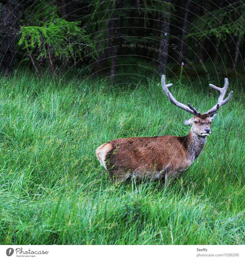skeptisch Natur grün Sommer Tier Gras Freiheit braun wild Wildtier frei Horn Schottland Hirsche Großbritannien nordisch begegnen