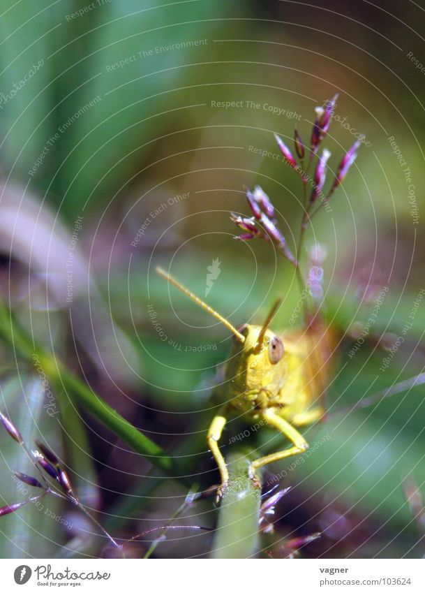 Heuschrecke Natur Sommer Heuschrecke