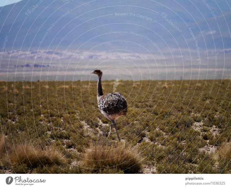 Strauß Natur Landschaft Wiese Feld Berge u. Gebirge Wüste Tier Wildtier Vogel 1 Bewegung laufen elegant frei Abenteuer Bolivien Südamerika Farbfoto