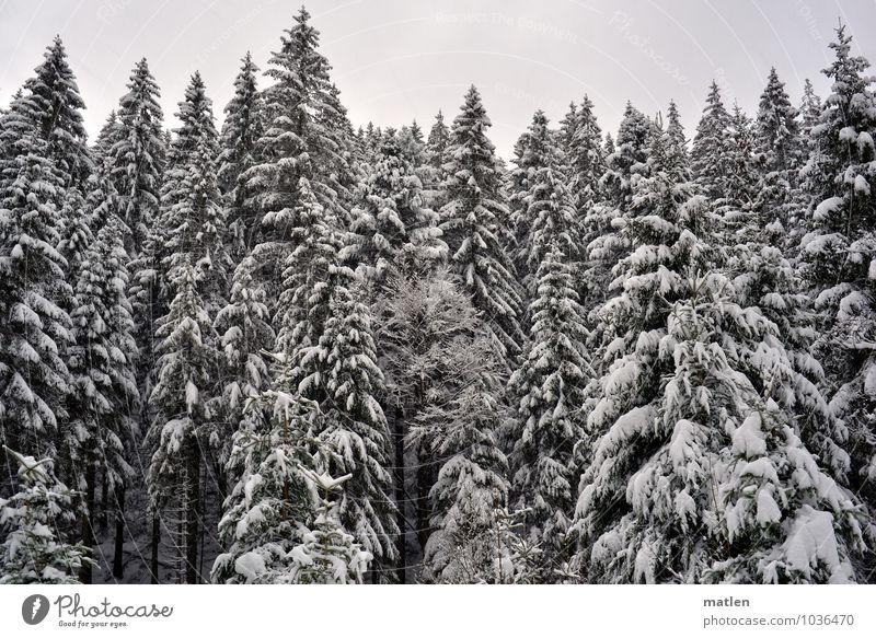 Wipfel Umwelt Natur Pflanze Himmel Winter Wetter Eis Frost Schnee Baum Wald braun schwarz weiß Tannenwald Schwarzwald Baumkrone Farbfoto Gedeckte Farben