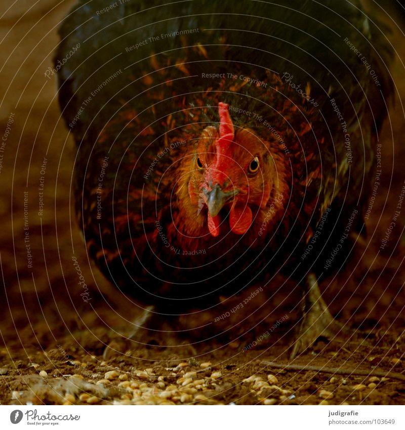 Huhn Haushuhn Haustier Korn Feder Federvieh Schnabel Futter Landwirtschaft Bauernhof Vogel rot Flügel Getreide Tierzucht picken scharlachrot Kampfhuhn