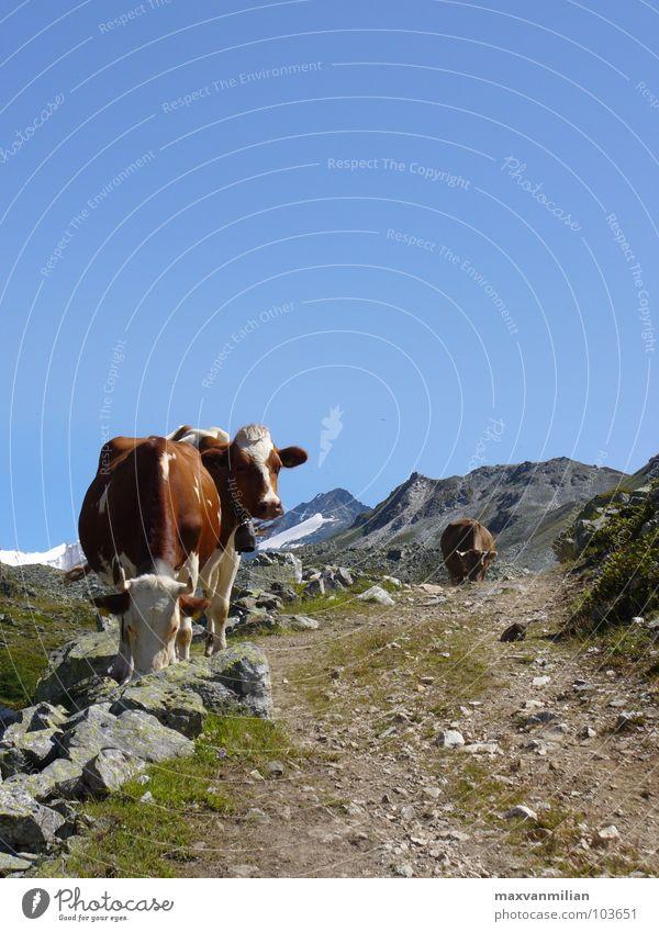ALP.SAU Kuh wandern Berge u. Gebirge blau Himmel Wege & Pfade Stein