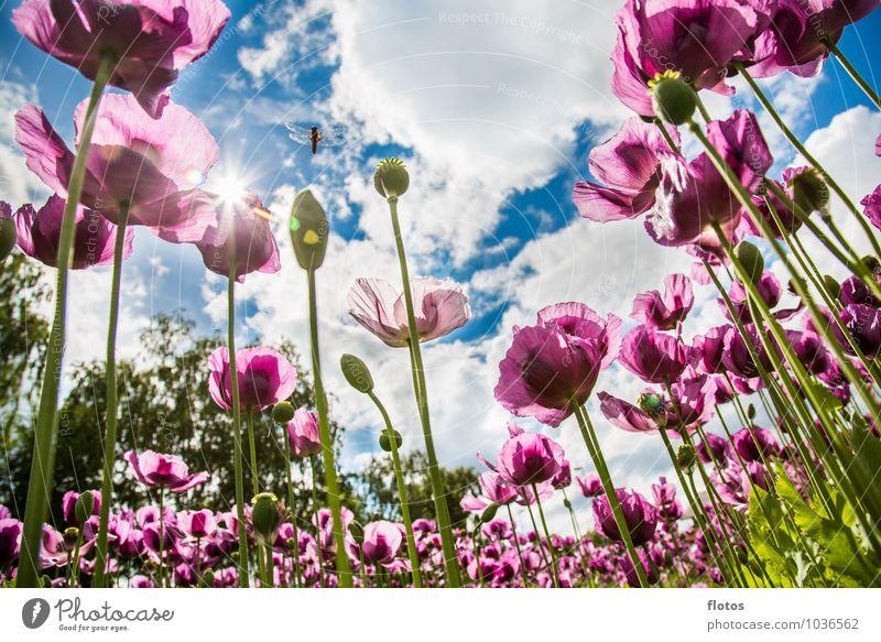 Den Mohn von unten betrachten Natur Pflanze Himmel Wolken Sonne Sonnenlicht Sommer Schönes Wetter Blume Nutzpflanze Feld Blühend leuchten blau grün violett weiß