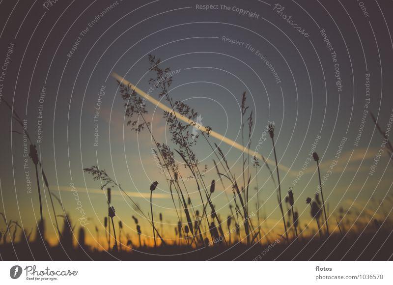 Skyline Natur Pflanze Himmel Sonnenaufgang Sonnenuntergang Sommer Schönes Wetter Gras Wildpflanze Wiese natürlich blau gelb gold orange schwarz Farbfoto