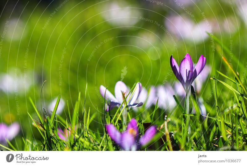 frühlings bild Natur Pflanze Frühling Sommer Schönes Wetter Blume Blüte Wiese Blühend leuchten frisch natürlich Krokusse Farbfoto Außenaufnahme Nahaufnahme
