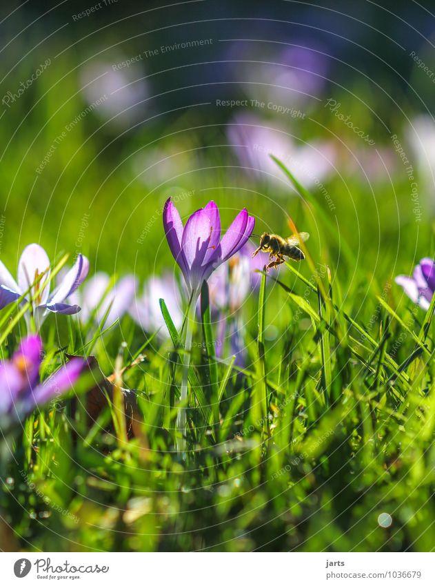 wann wird´s mal wieder...... Umwelt Natur Pflanze Tier Sonnenlicht Frühling Sommer Schönes Wetter Blume Gras Wiese Wildtier Biene 1 Blühend fliegen hell